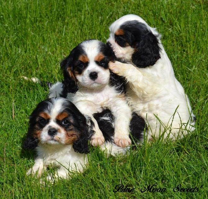 Elevage Blue Moon Secrets - eleveur de chiens Cavalier